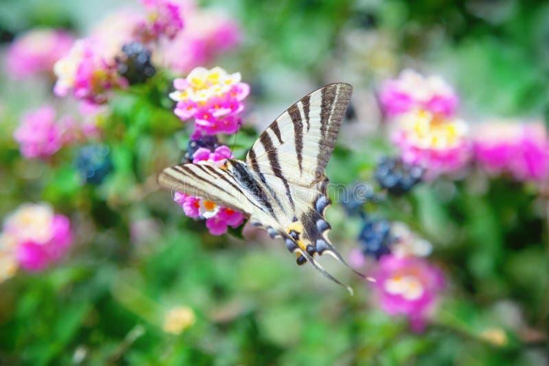 knapp swallowtail för fjäril arkivbild