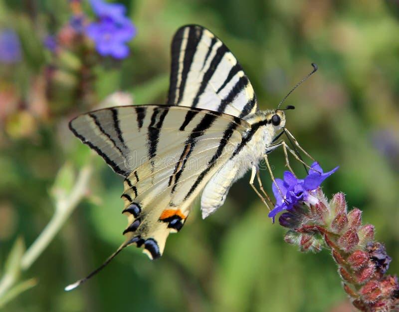 Knapp Swallowtail fjärilsIphiclides podalirius på en blomma royaltyfria foton