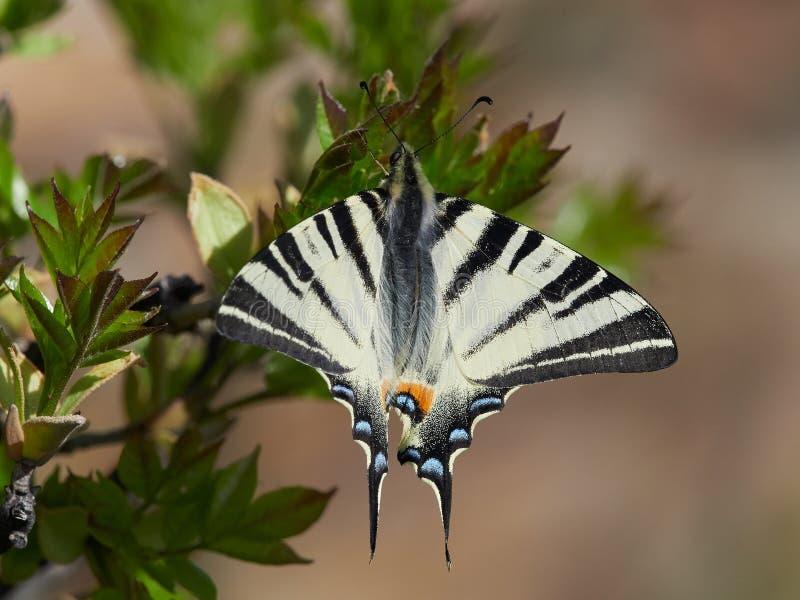 Knapp Swallowtail Iphiclides podalirius i naturlig livsmiljö royaltyfri bild