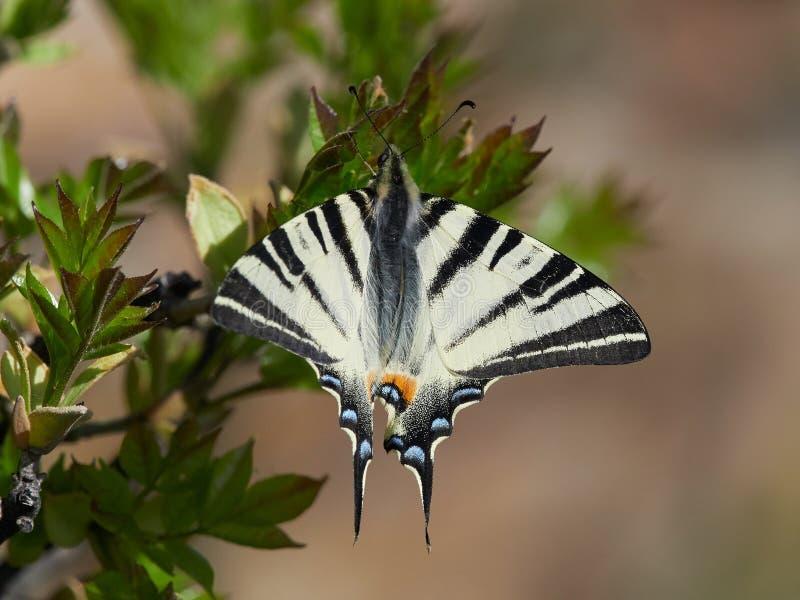Knapp Swallowtail Iphiclides podalirius i naturlig livsmiljö royaltyfri fotografi