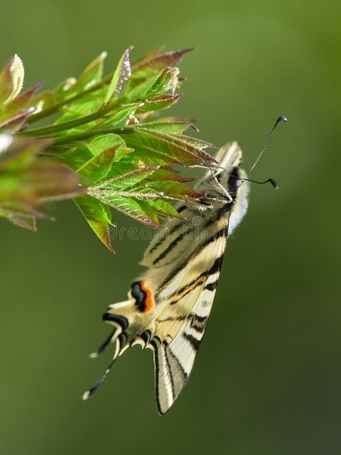 Knapp Swallowtail Iphiclides podalirius i naturlig livsmiljö fotografering för bildbyråer