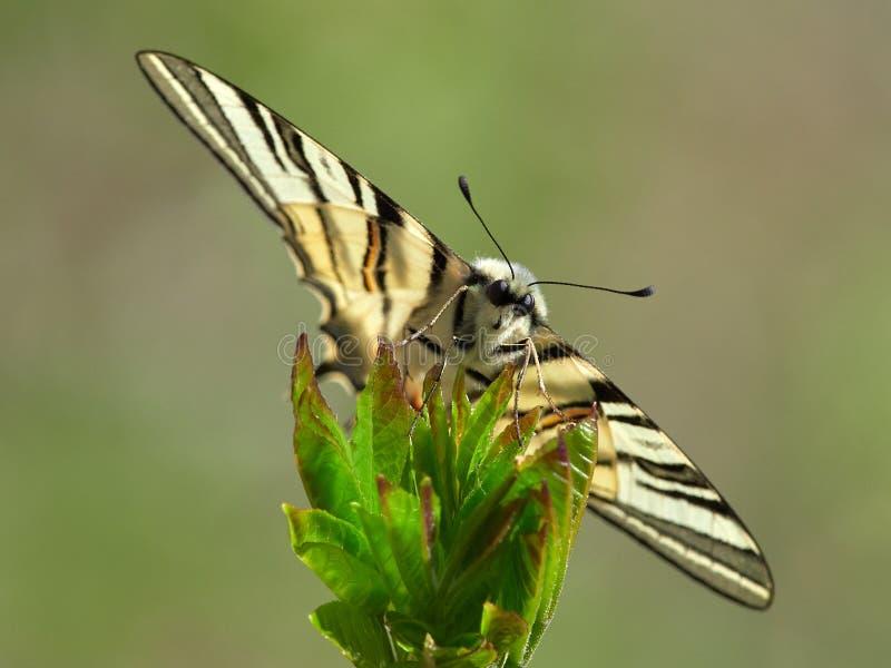 Knapp Swallowtail Iphiclides podalirius i naturlig livsmiljö royaltyfri foto