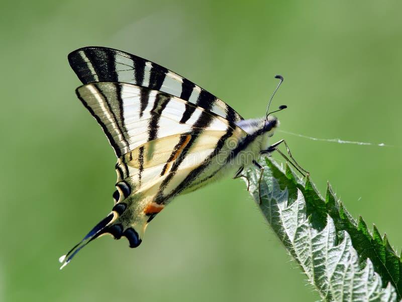 Knapp Swallowtail Iphiclides podalirius i naturlig livsmiljö in royaltyfri fotografi