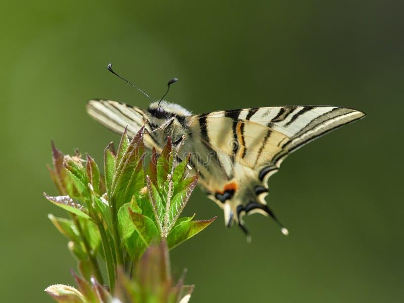 Knapp Swallowtail Iphiclides podalirius i naturlig livsmiljö arkivbilder