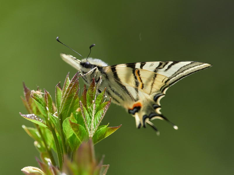 Knapp Swallowtail Iphiclides podalirius i naturlig livsmiljö royaltyfria foton