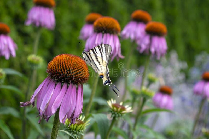 Knapp swallowtail på växten för Echinaceapurpureablomning, östlig purpurfärgad coneflower i blom arkivfoton