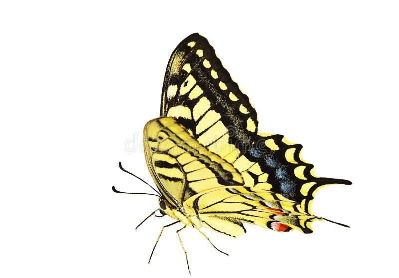 Knappa Swallowtail fotografering för bildbyråer