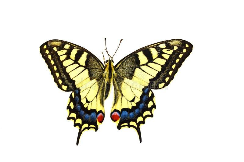 Knappa Swallowtail arkivbild