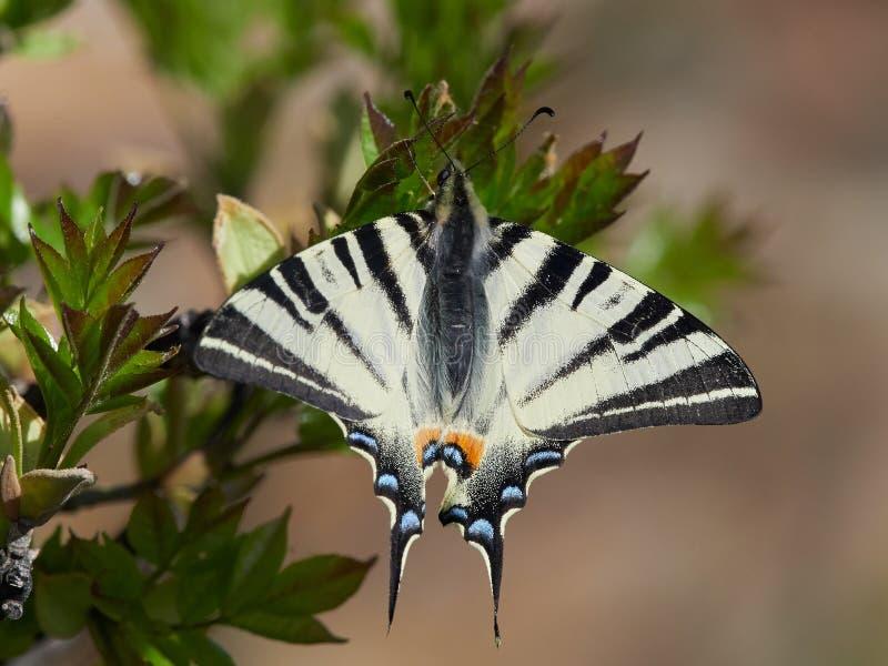 Knappa Swallowtail & x28; Iphiclides podalirius& x29; i naturlig livsmiljö arkivbilder