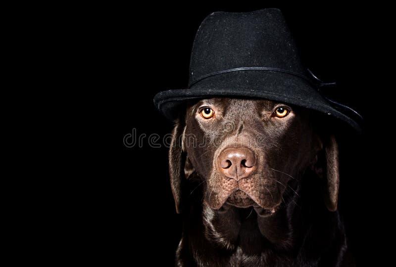 Knappe Chocolade Labrador in Zwarte Hoed stock foto's
