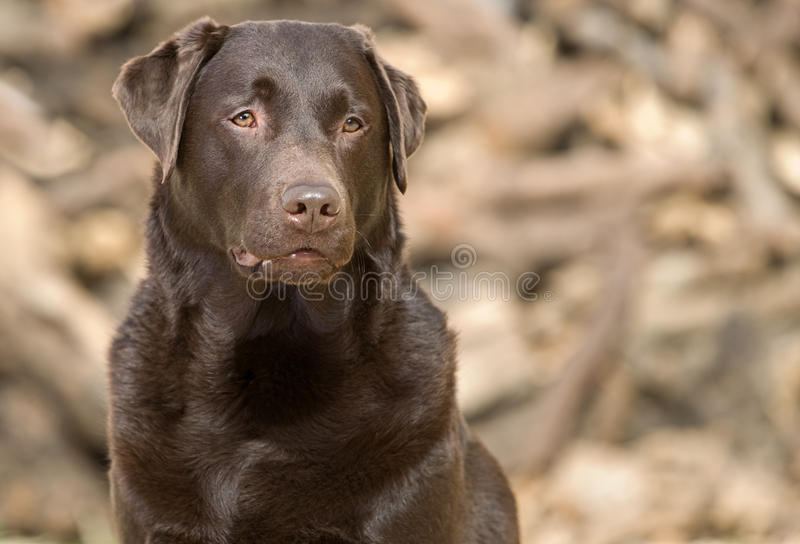 Knappe en Waakzame Chocolade Labrador royalty-vrije stock foto