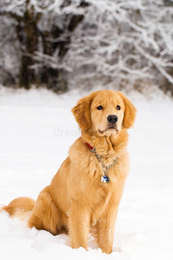 Knappe Gouden Retriever in de Sneeuw royalty-vrije stock afbeelding