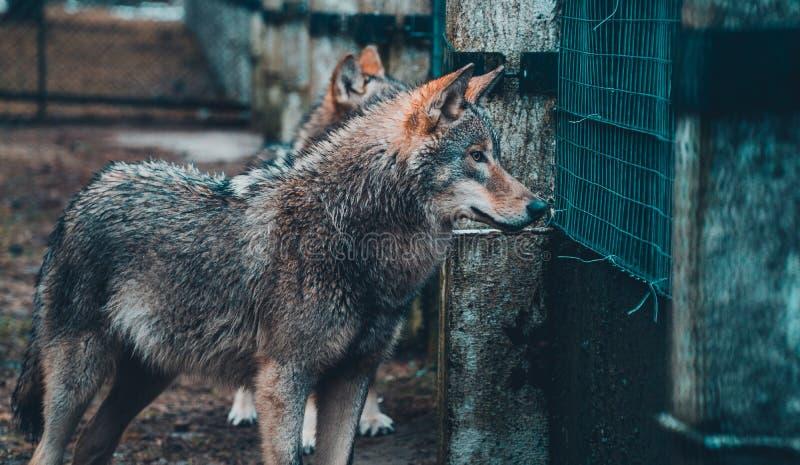 Knappe hongerige wolf in het bos royalty-vrije stock foto
