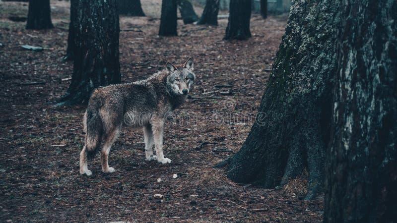Knappe hongerige wolf in het bos stock afbeelding