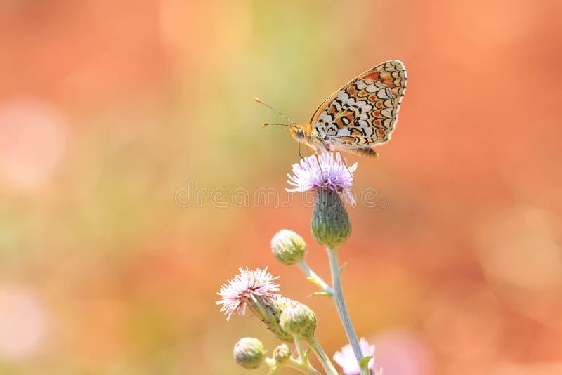 Knapweed fritillary, Melitaea phoebe, πεταλούδα που στηρίζεται και που επικονιάζει στοκ φωτογραφία με δικαίωμα ελεύθερης χρήσης