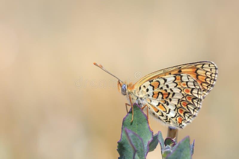 Knapweed fritillary, Melitaea phoebe, πεταλούδα που στηρίζεται και που επικονιάζει στοκ φωτογραφίες με δικαίωμα ελεύθερης χρήσης