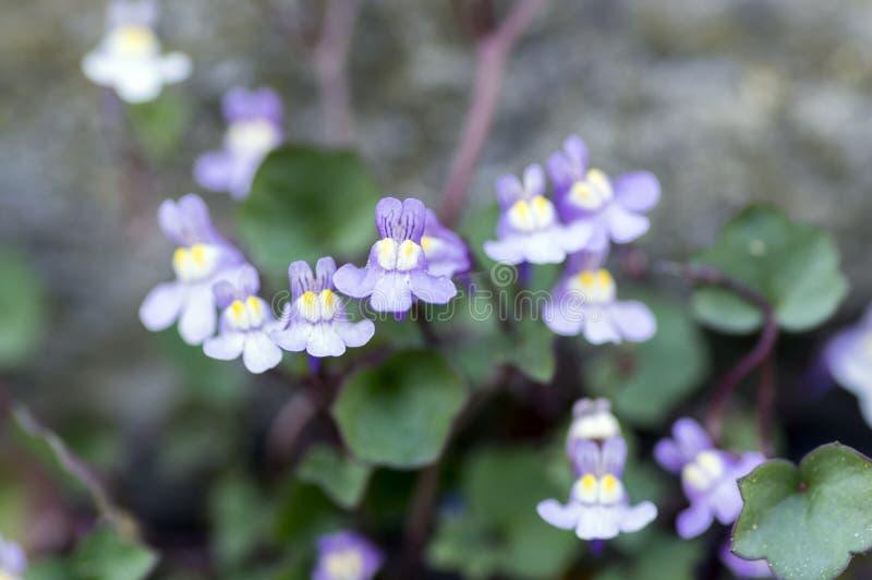Knapweed pequeno dos muralis de Cymbalaria na flor, boca-de-lobo planta de florescência violeta roxa, fim acima da vista macro foto de stock
