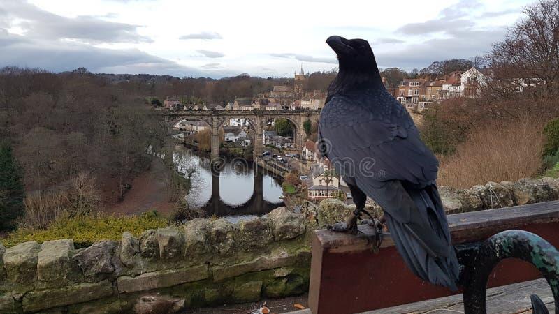 Knaresborough Ravens som sätta sig på bänk royaltyfri foto