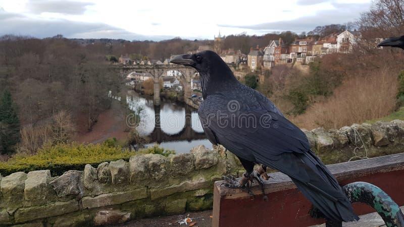 Knaresborough Ravens som sätta sig på bänk arkivbild