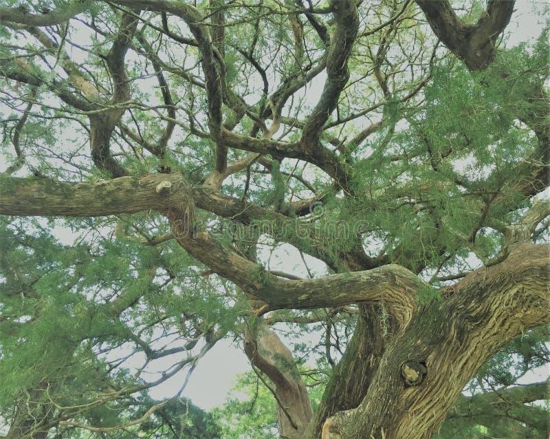 Knarled cypressträd nära hundfloden Alabama royaltyfria foton