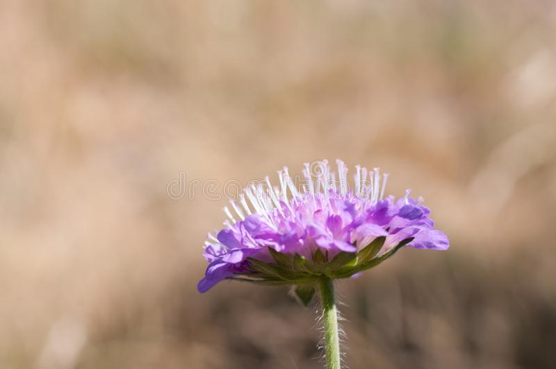 Knautia arvensis comúnmente conocida como sarcástico de campo fotos de archivo