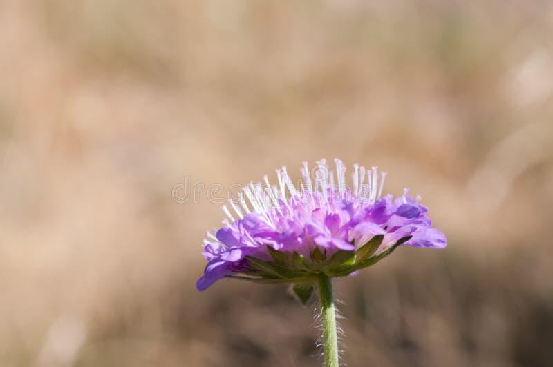 Knautia arvensis comunemente nota come 'scabbia sul campo' fotografie stock