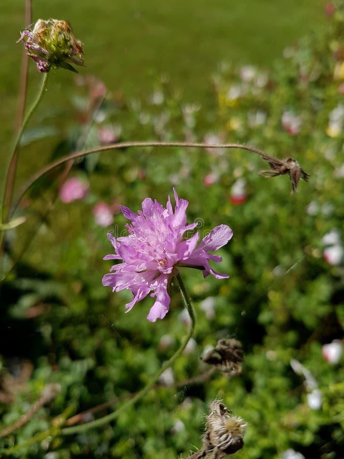 Knautia Arvensis o coltura selvatica in estate fotografia stock