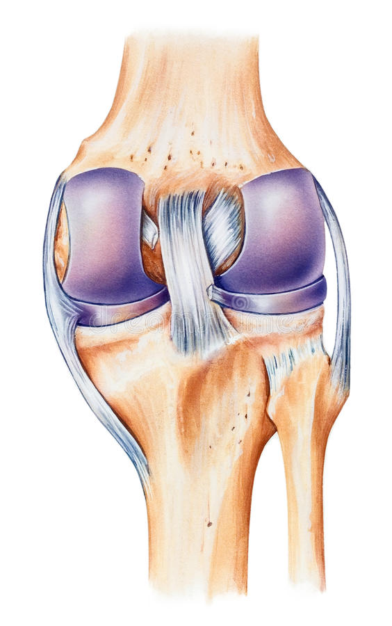 Knee - Anatomy, Dorsal View Stock Illustration - Illustration of ...