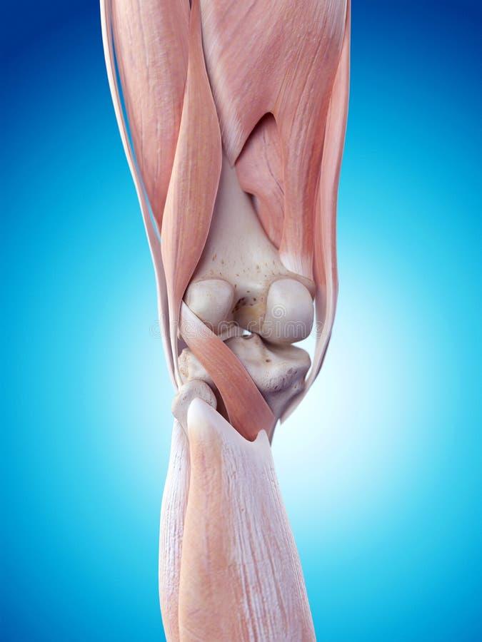 The knee anatomy royalty free illustration