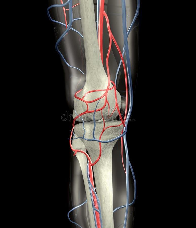 Download Knee Arteries, Veins, Bones Stock Illustration - Image: 3027200