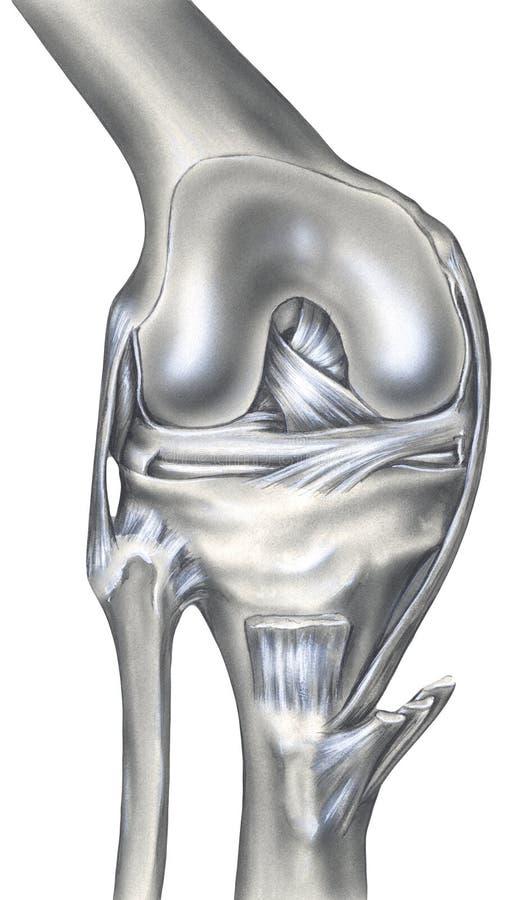 Knee - Bones, Ligaments & Muscles. The bony view left shows the femur, cut edge of the synovial capsule, meniscus, fibula, tibia, patella, anterior cruciate stock illustration