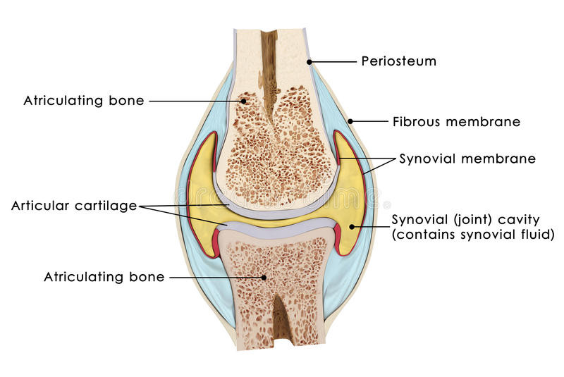 Knee bursae stock illustration illustration of kneecap 48747270 download knee bursae stock illustration illustration of kneecap 48747270 ccuart Choice Image