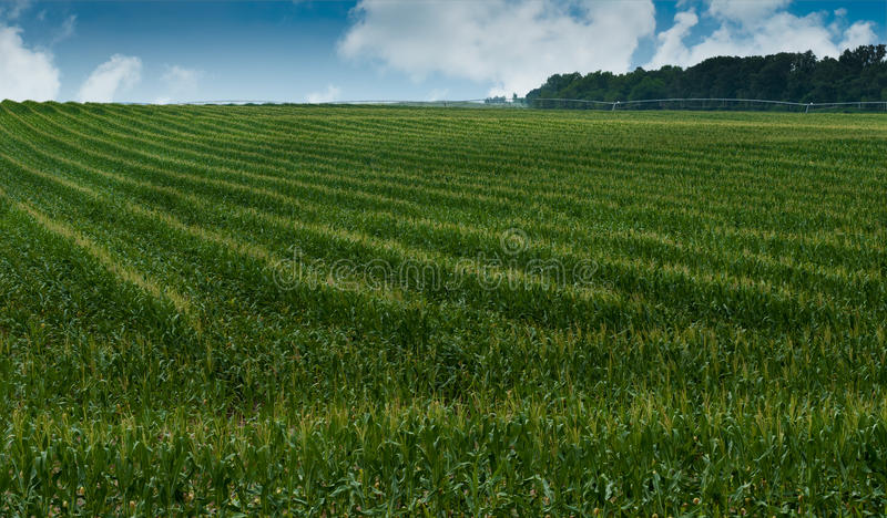 Knee High By Mid-July Royalty Free Stock Image