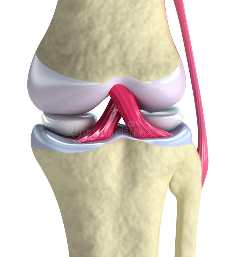 Knee joint closeup view. Isolated on white royalty free illustration