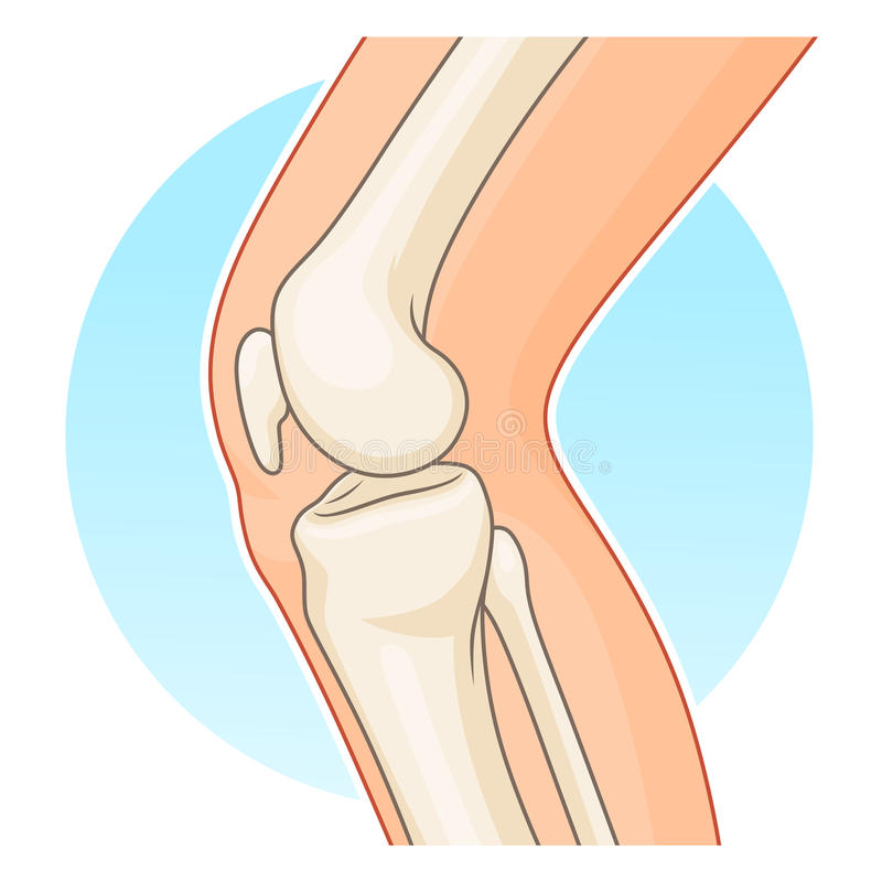 Knee-joint side view. Human knee-joint side view vector illustration stock illustration