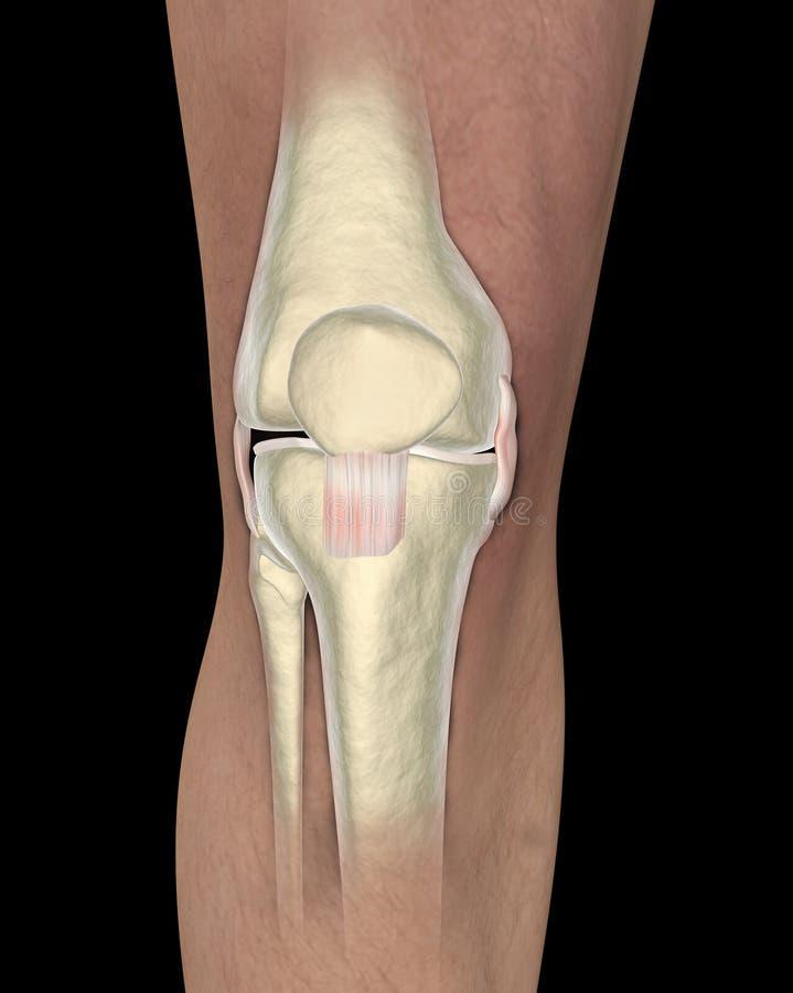 Knee Ligaments, Tendons, X-ray Stock Illustration - Illustration of ...
