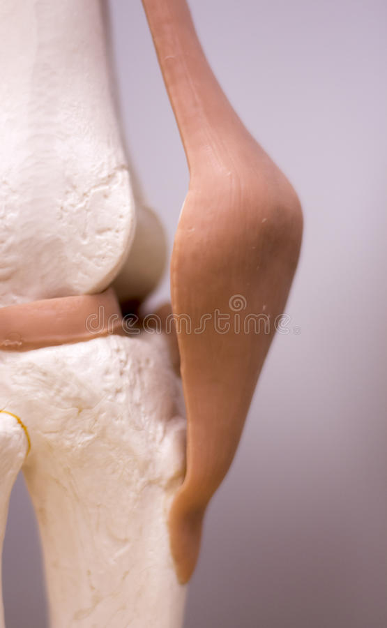 Knee Meniscus Medical Model Stock Photo Image Of Feet Human 91695364