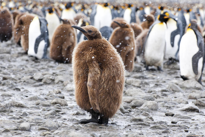 King penguin chick in front of a group of penguins stock photos
