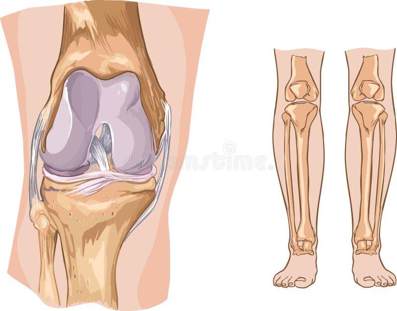 Knie vector illustratie