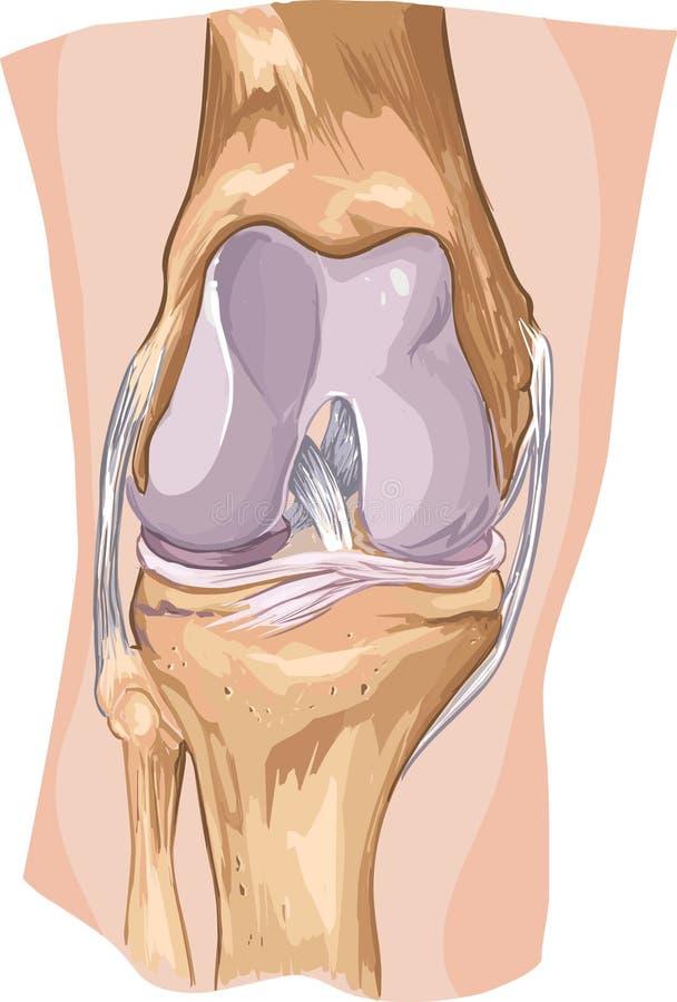 Knie stock illustratie