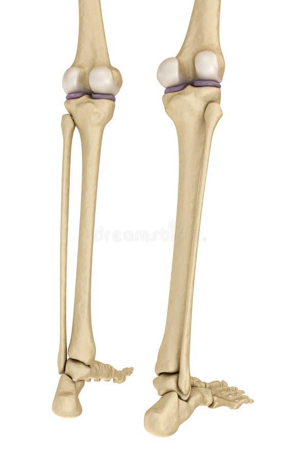 Wunderbar Hinter Dem Knie Anatomie Bilder - Menschliche Anatomie ...