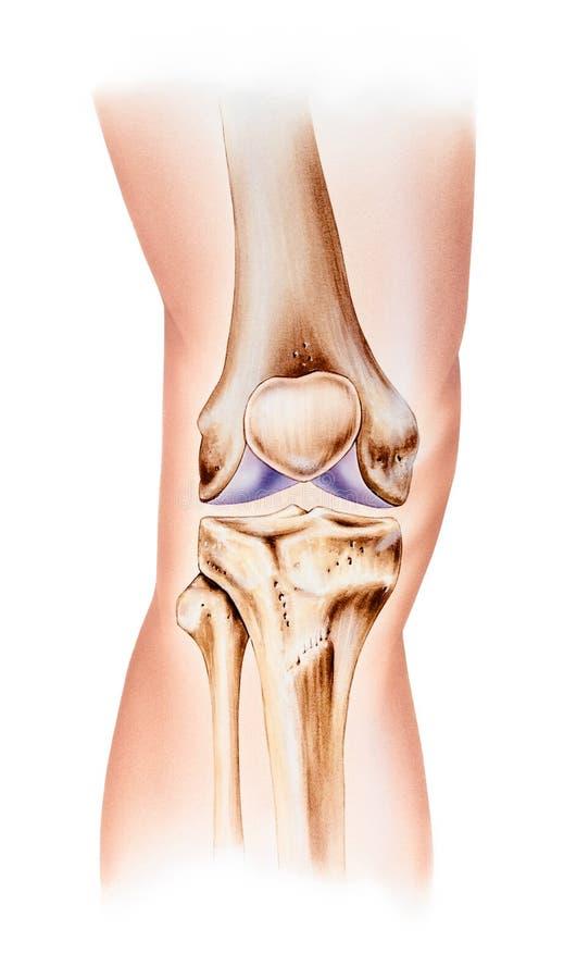 Knie - Normale Anatomie Frontale Mening stock afbeelding