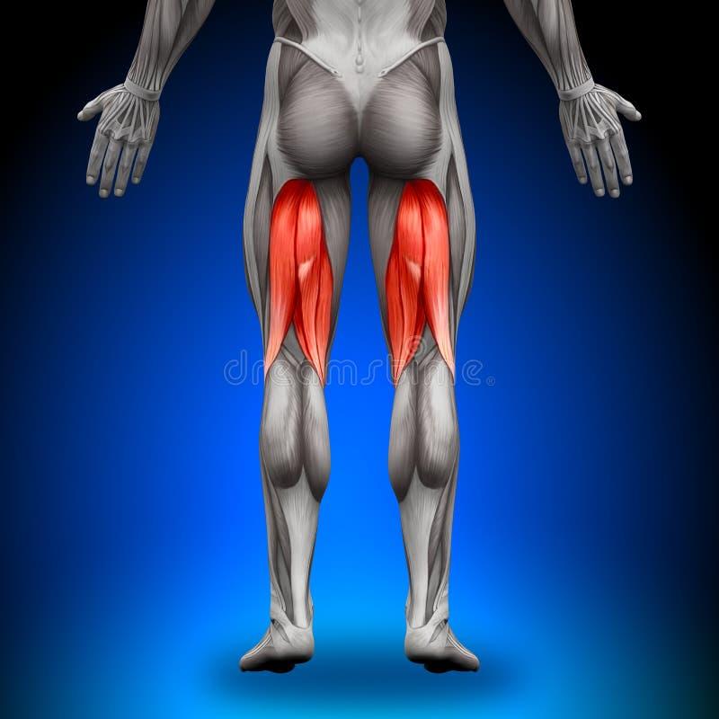 Kniesehnen - Anatomie-Muskeln Stock Abbildung - Illustration von ...