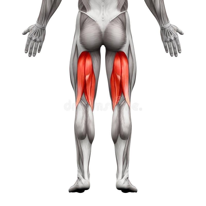 Kniesehnen-männliche Muskeln - Anatomie-Muskel Lokalisiert Auf Weiß ...