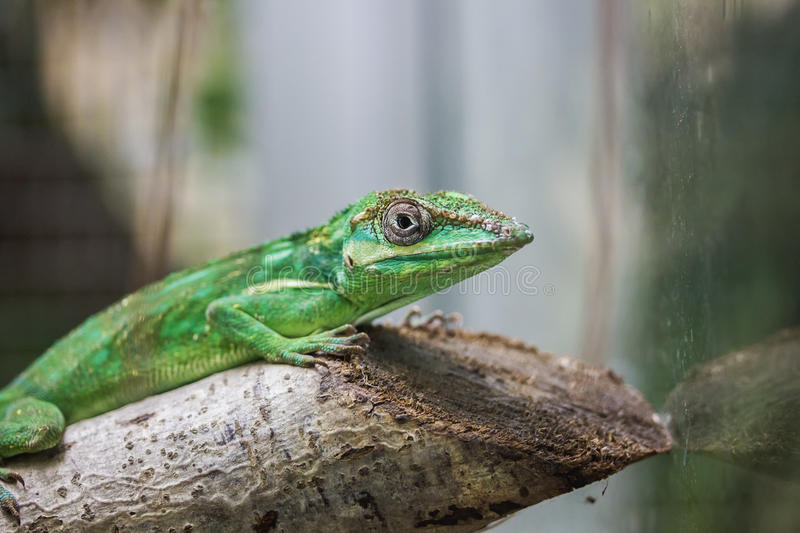 Knight anole. Portrait of knight anole lizard stock images