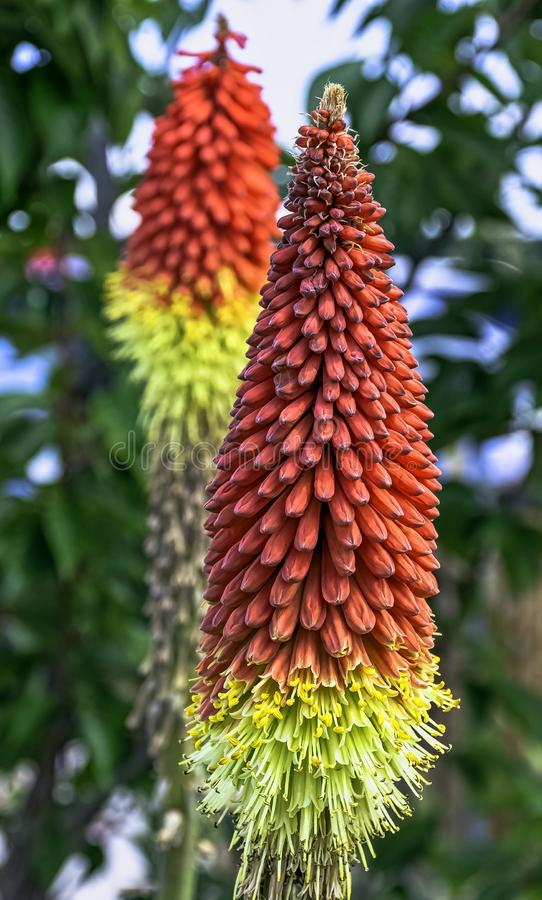 Kniphofia hirsuta also called tritoma, red hot poker, torch lily, knofflers, traffic lights or poker plant. Is a genus of perennial flowering plants in the stock photo