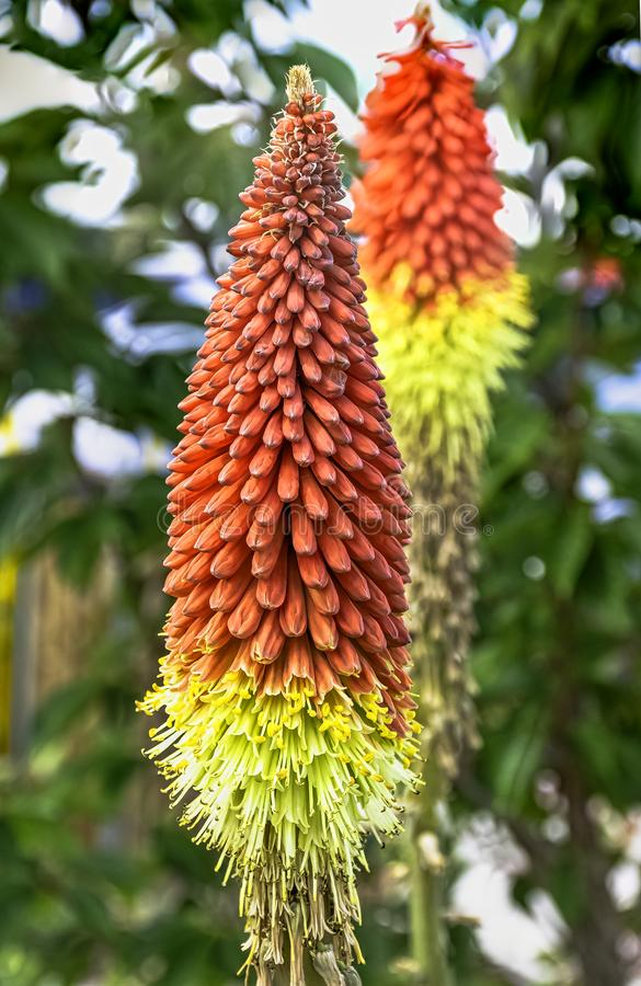 Kniphofia hirsuta also called tritoma, red hot poker, torch lily, knofflers, traffic lights or poker plant. Is a genus of perennial flowering plants in the royalty free stock photography