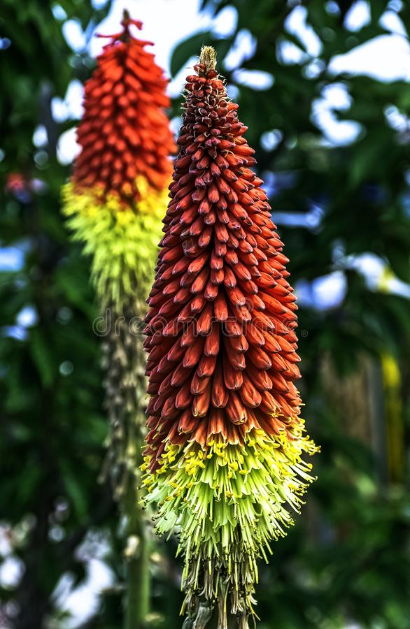 Kniphofia hirsuta also called tritoma, red hot poker, torch lily, knofflers, traffic lights or poker plant. Is a genus of perennial flowering plants in the stock photography