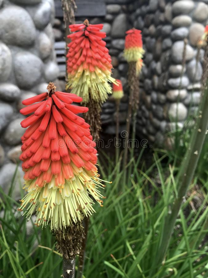 Red Hot Poker Flowers stock images