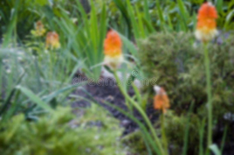 Kniphofiabloem villatic vakantieseizoen, in de voorsteden Kniphophia ook geroepen tritoma water voor bloem van knofofiyabloembed royalty-vrije stock afbeelding